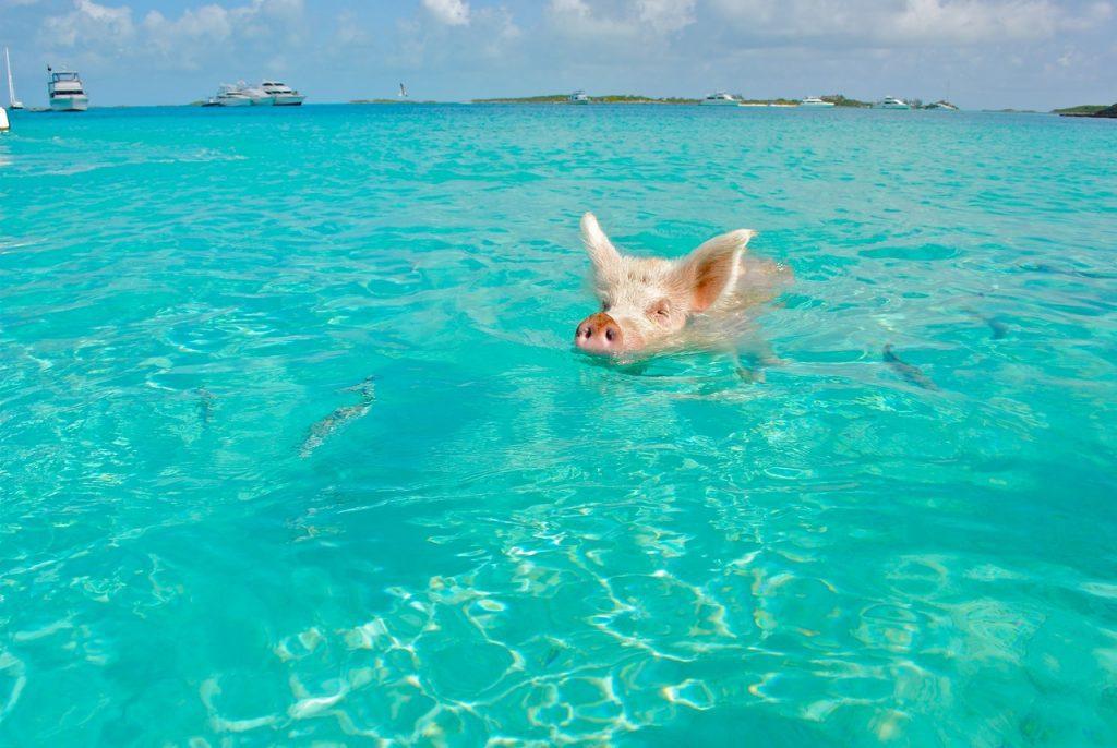 Exumas Pig Beach